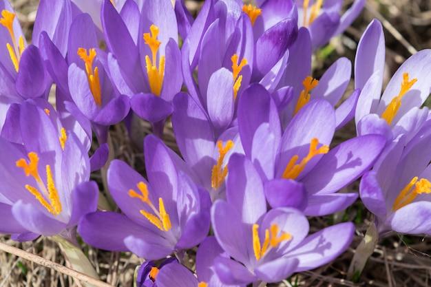 Wild violet croci ou crocus sativus no início da primavera. flor de açafrão alpino nas montanhas. paisagem de primavera