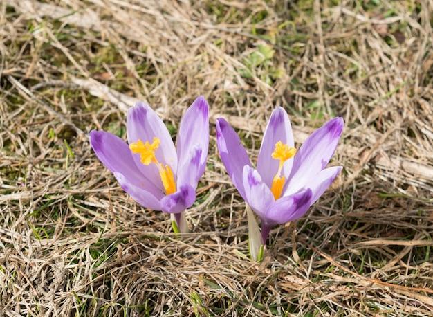 Wild violet crocus sativus no início da primavera
