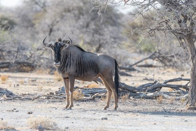 Wildebeest azul que anda no arbusto. safari da vida selvagem no parque nacional etosha, famoso destino de viagem na namíbia, áfrica.