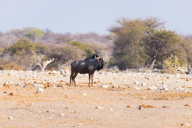 Wildebeest azul que anda no arbusto. safari da vida selvagem no parque nacional etosha