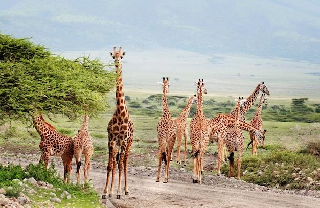 Wildlife africa, o grupo de girafas atravessando a estrada no parque nacional do serengeti.