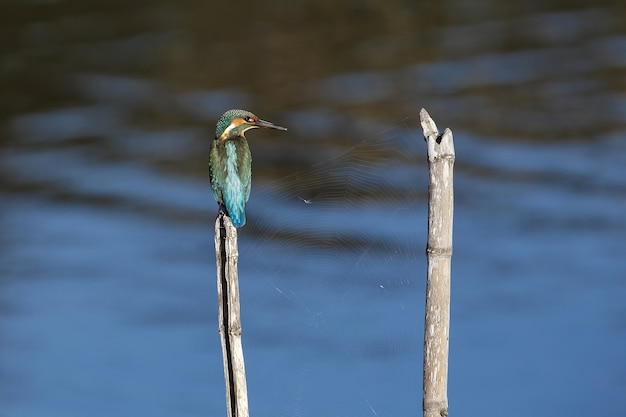 Wintering common kingfisher alcedo atthis