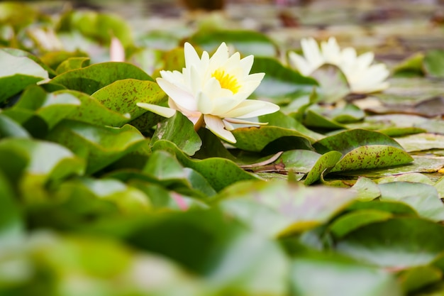 Wite water lilies growing