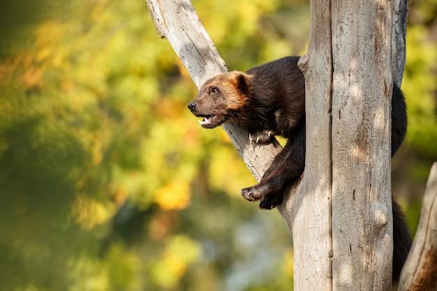 Wolverine majestoso pendurado em uma árvore em frente à natureza colorida