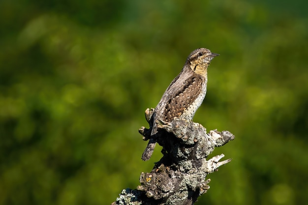 Wryneck eurasiático sentado em um galho na natureza da primavera