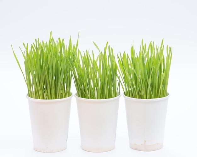 Xícara de grama de trigo no fundo branco