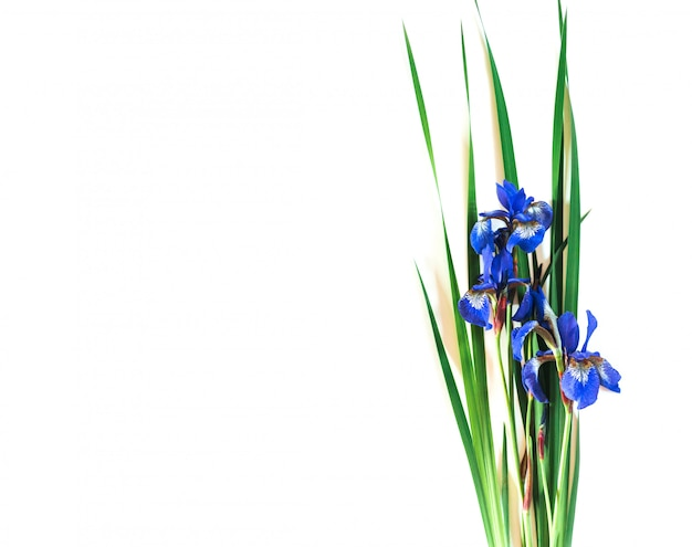 Xísio de íris azul isolado