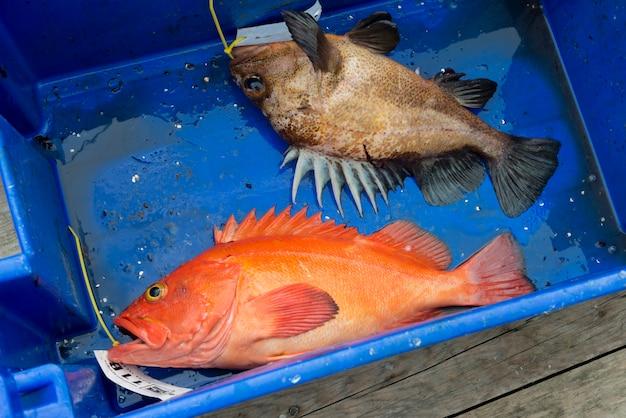 Yelloweye rockfish morto em um recipiente, distrito regional de skeena-queen charlotte, haida gwaii, graha