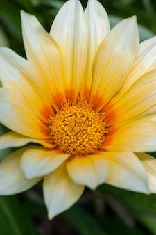 Yelow flor que floresce no jardim