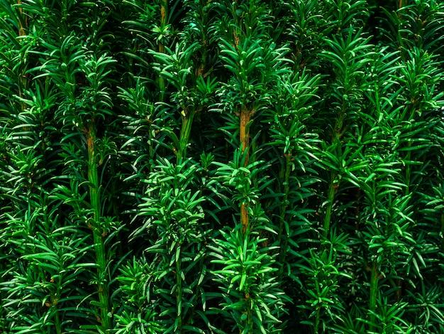 Yew tree. uma árvore jovem em uma panela em uma loja de jardim
