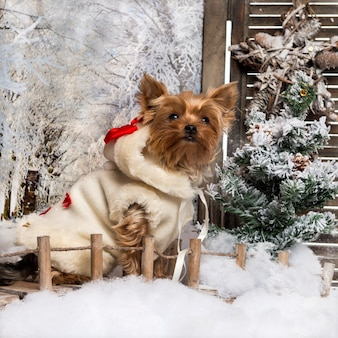 Yorkshire terrier bem vestido sentado em uma ponte em um cenário de inverno