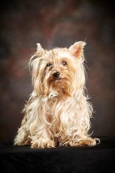 Yorkshire terrier. cão de raça pura