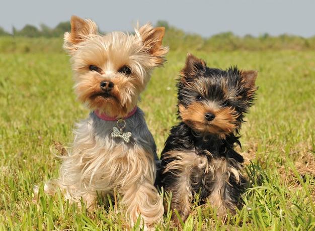 Yorkshire terrier e filhote de cachorro