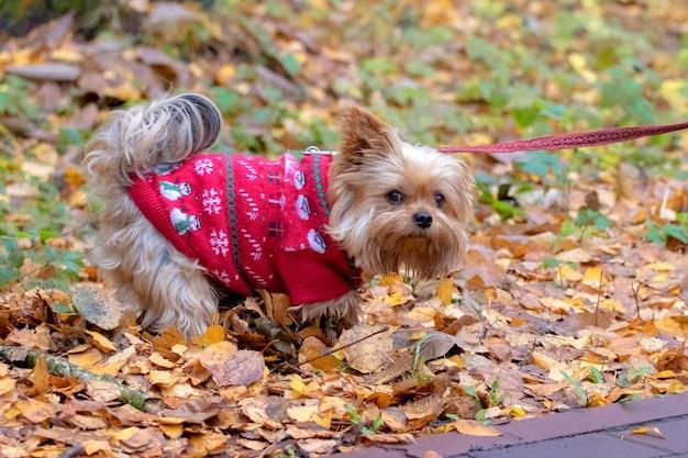 Yorkshire terrier em roupas quentes no parque de outono durante uma caminhada_