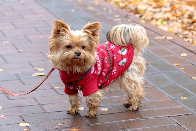 Yorkshire terrier em roupas quentes no parque outono, enquanto caminhava.