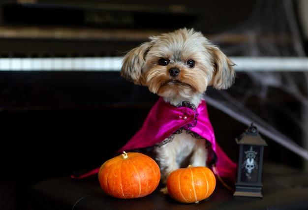 Yorkshire terrier em uma fantasia engraçada de carnaval no contexto de decorações de halloween