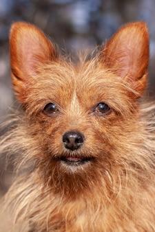 Yorkshire terrier engraçado com orelhas grandes