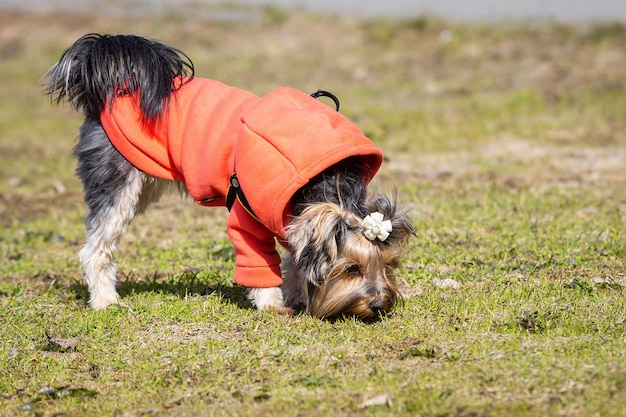 Yorkshire terrier no parque