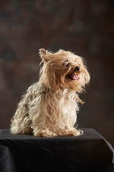 Yorkshire terrier ofegante