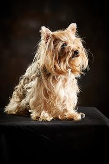 Yorkshire terrier sentado.