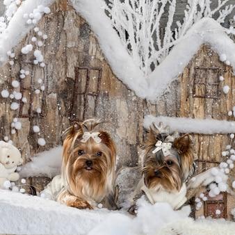 Yorkshire terriers em frente a um cenário de natal