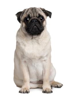 Young pug, 6 meses de idade. retrato de cachorro isolado