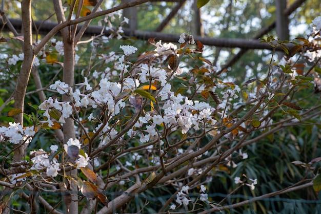 Ype branca, as lindas flores de uma pequena ype branca do brasil. luz natural, foco seletivo.