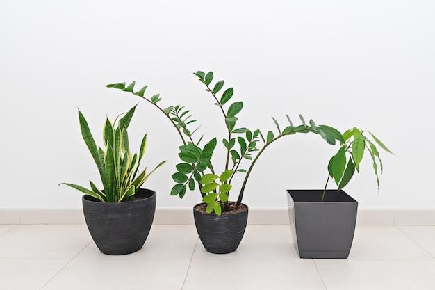 Zamioculcas e sansevieria, vasos de abacate contra parede branca, jardinagem em casa