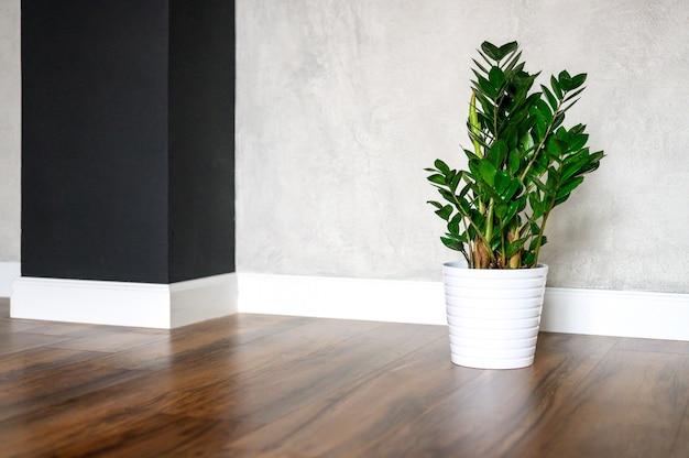 Zamioculcas plantam no chão contra uma parede de concreto cinza em casa
