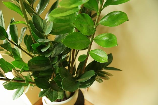 Zamioculcas zamiifolia flor de zamioculcas em vaso conceito de decoração de interior com planta natural