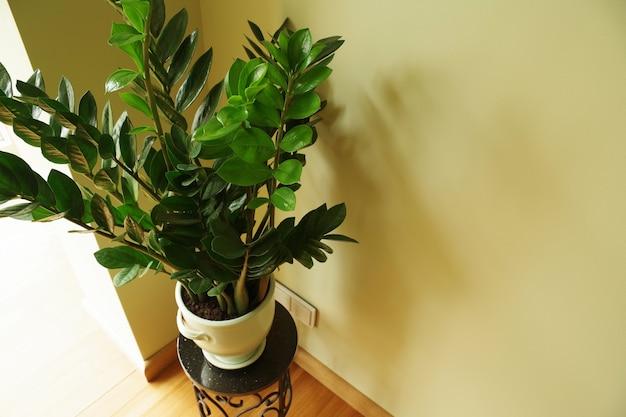 Zamioculcas zamiifolia flower in pot natural home plant