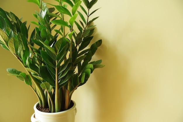 Zamioculcas zamiifolia zamioculcas flor em vaso de planta natural