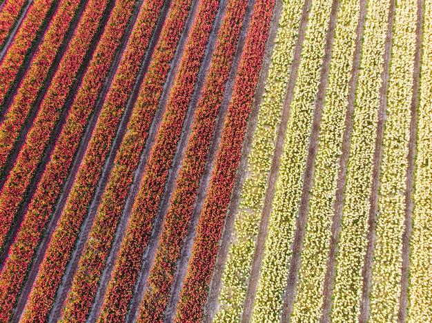 Zangão aéreo sobrevoando o campo de tulipa colorida linda