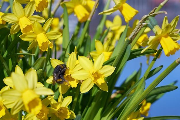 Zangão poliniza narciso amarelo ao ar livre no parque. Foto Premium