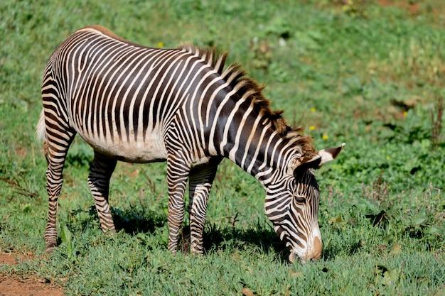 Zebra agradável pastando no campo