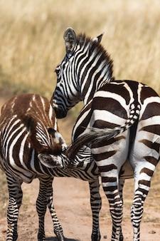 Zebra alimenta o bebê. masai mara, quênia