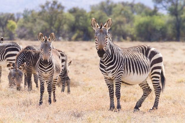 Zebra da montanha do cabo do parque nacional de mountain zebra, áfrica do sul. safari e vida selvagem. equus zebra zebra