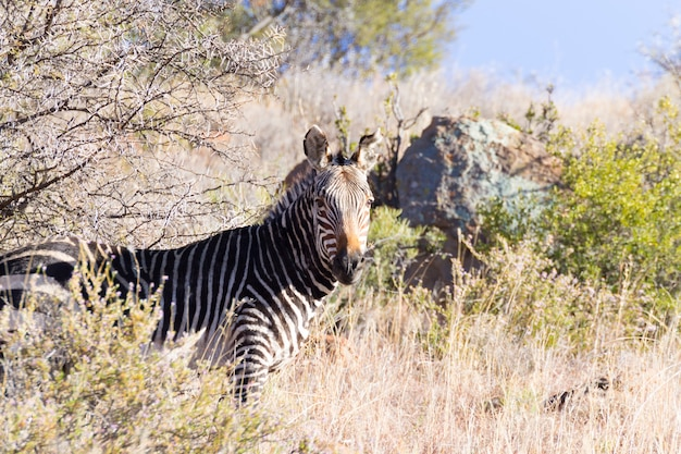 Zebra da montanha do cabo do parque nacional mountain zebra