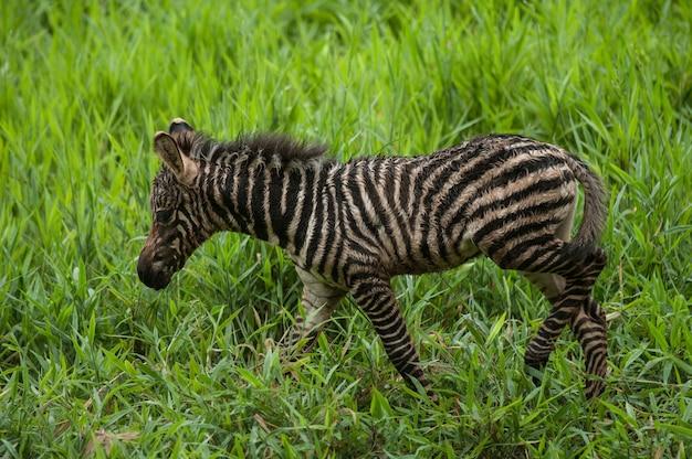 Zebra de bebê recém nascido