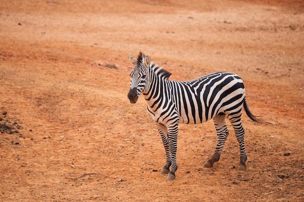 Zebra de burchell no solo seco vermelho