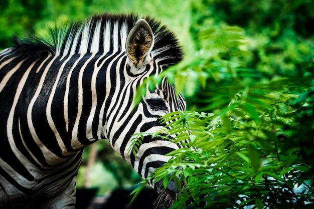 Zebra de foco seletivo com greenfield