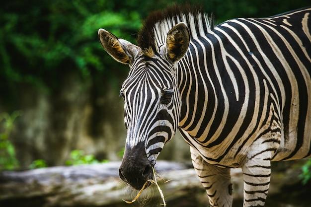 Zebra de foco seletivo eatting uma grama