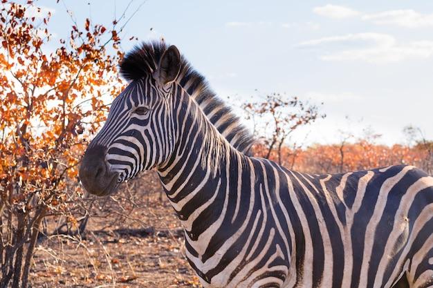 Zebra do parque nacional kruger