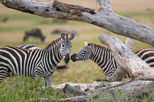 Zebra em estado selvagem