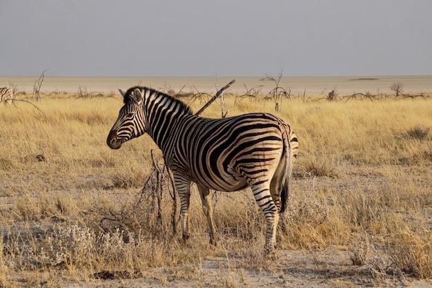 Zebra em parque nacional etosha - namíbia