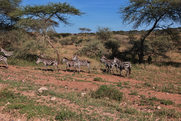 Zebra em safari na áfrica