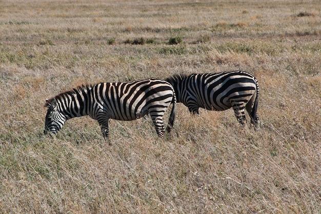 Zebra em safari no quênia e na tanzânia, áfrica