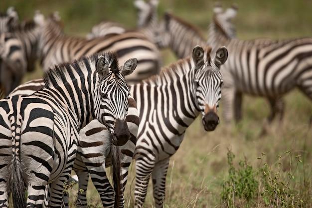 Zebra em serengeti national park