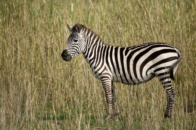 Zebra em serengeti, tanzânia, áfrica