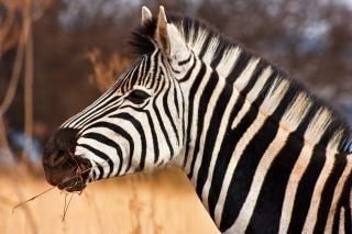 Zebra fechar-se deserto